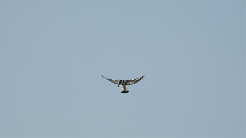 Малый пегий зимородок - Pied Kingfisher - פרפור עקוד (самец)