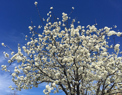 Bradford pears are in bloom
