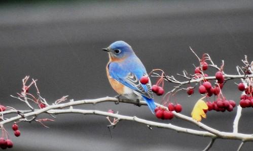 Eastern Bluebird - Portland, OR 11-26-18 039
