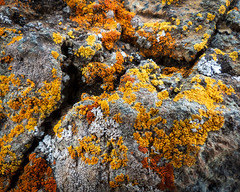 Lichen on serpentinite rock