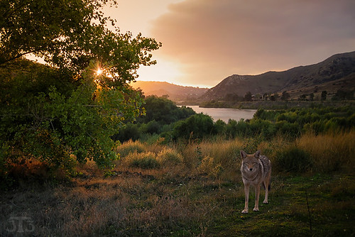 coyote grasses tree lake sunset mountains dehesa sandiego california usa composite sandiegocounty