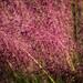 Pink grass (02)