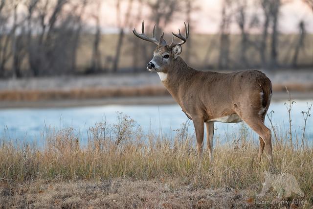 White-tailed Deer Buck, Nikon D850, Sigma 150-600mm F5-6.3 DG OS HSM | S