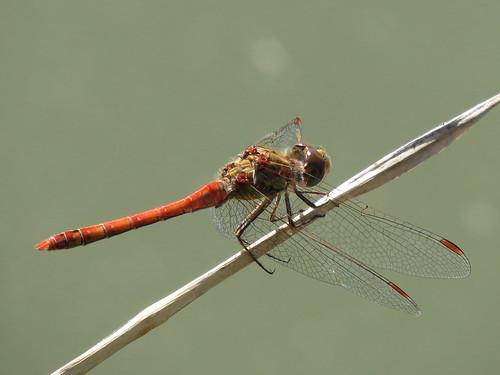Sympetrum striolatum male (Common Darter)