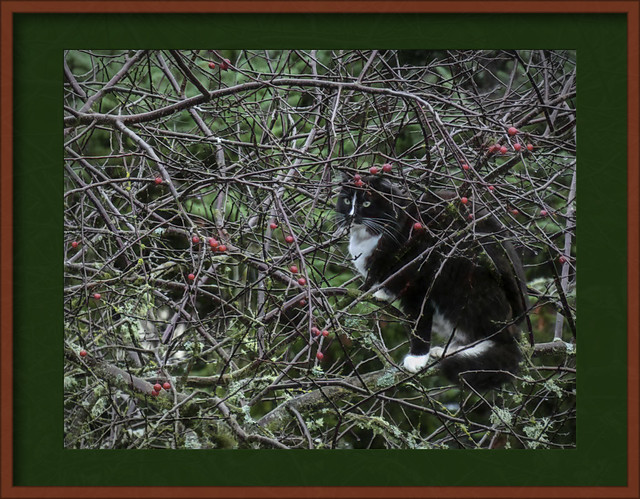 A Cat in a Crabapple Tree 🎄 - Season's Greetings to All