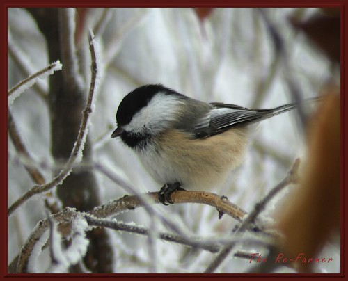 2018-12.birds.blackcapped.chickadee