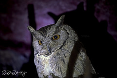OWLET AT SUNDERNAGAR | Rarely visible Owl Captured | 3X7A5531 PP 20181219 OWL INERESTS MOM DAD 8K JPEG