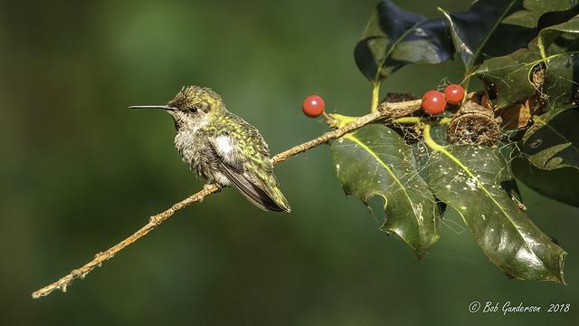 Anna's Hummingbird in a holiday mood