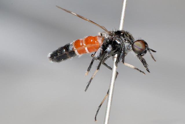 Acupalpa dolichorhyncha