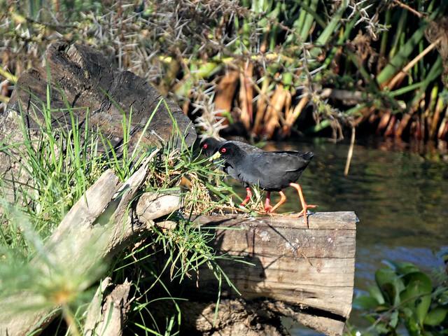 Photo:Black crake - Amaurornis flavirostra By Linda DV (away)
