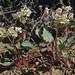 brown eyes, Chylismia claviformis subsp. integrior by Jim Morefield