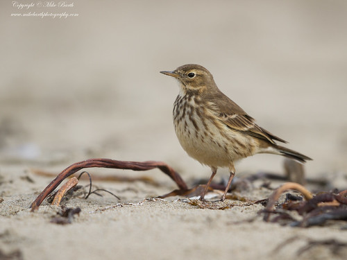 Buff-bellied Pipit (Anthus rubescens)