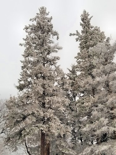 20181212.frost.tallspruces