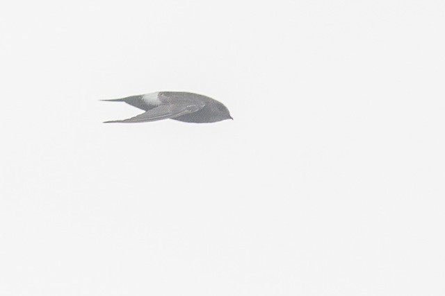 Fork-tailed Swift, Canon EOS 700D, Canon EF 400mm f/5.6L