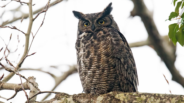 Great Horned Owl, Sony ILCA-99M2, Sony 500mm F4 G SSM (SAL500F40G)