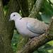 35 Collared Dove.