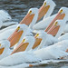White pelicans by jeremy_cohen