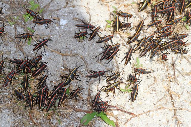Eastern Lubber Grasshopper - Romalea microptera, Arthur Marshall Loxahatchee National Wildlife Refuge, Boynton Beach, Florida