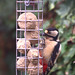Great Spotted Woodpecker ( Dendrocopos major), f