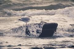 Möve auf Stein von der Ostsee umspült -  5. Februar 2019 - Fehmarn - Schleswig-Holstein - Deutschland