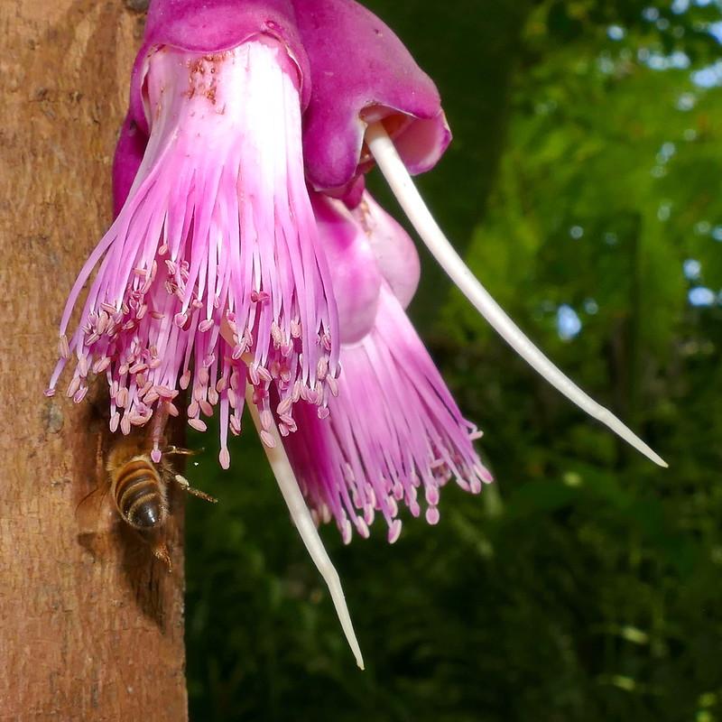 En cachette derrière Syzygium acre 44518500170_b14b67ae1c_c