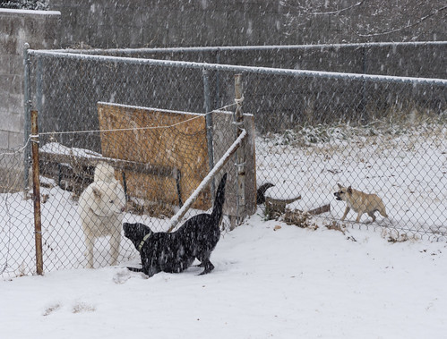 3_dogs_in_snow-20181231-100