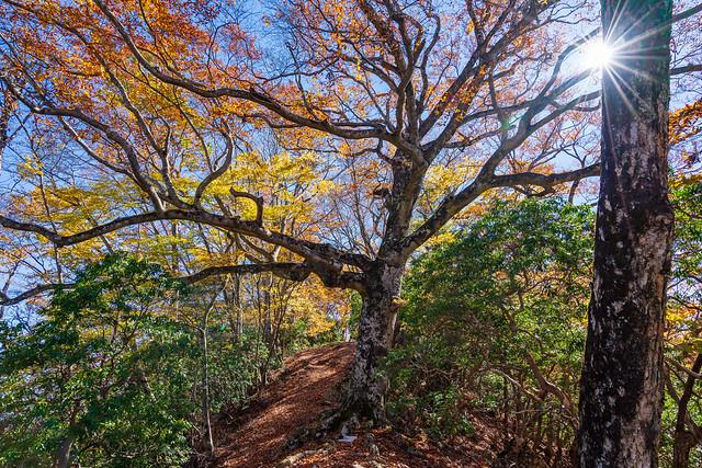 天神山へ向かう稜線・・・ この大木は倒れてなくて良かった!