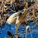Bittern at Island Mere Minsmere by elle2465