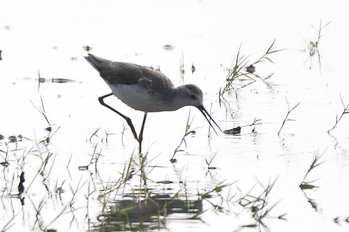 marshsandpiper sandpiper odiyurbackwaters odiyur mudaliarkuppam mudaliarkuppambackwaters