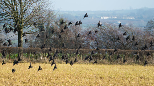 Small flock of starlings, Dover's Hill