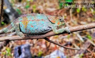 Peltier's chameleon (Calumma peltierorum) - 20181019_105551-02-01