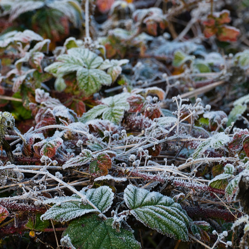 Autumn frost: bramble tangle