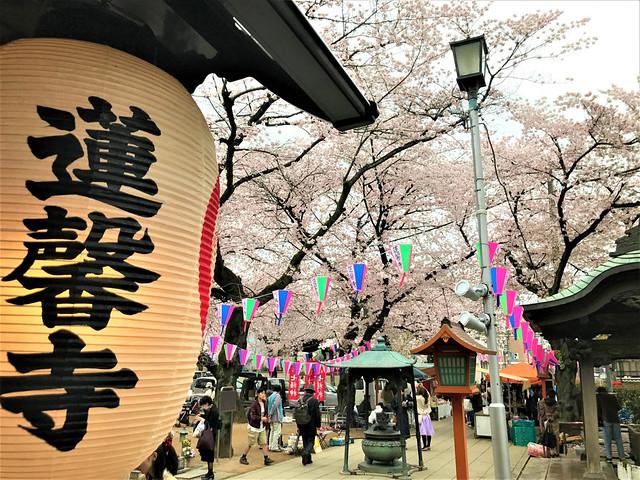 renkeiji-sakura004