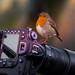 Robin- Camera-Action. Take one. by neil 36
