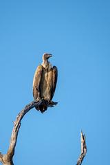 2018 Sambia Proud looking vulture