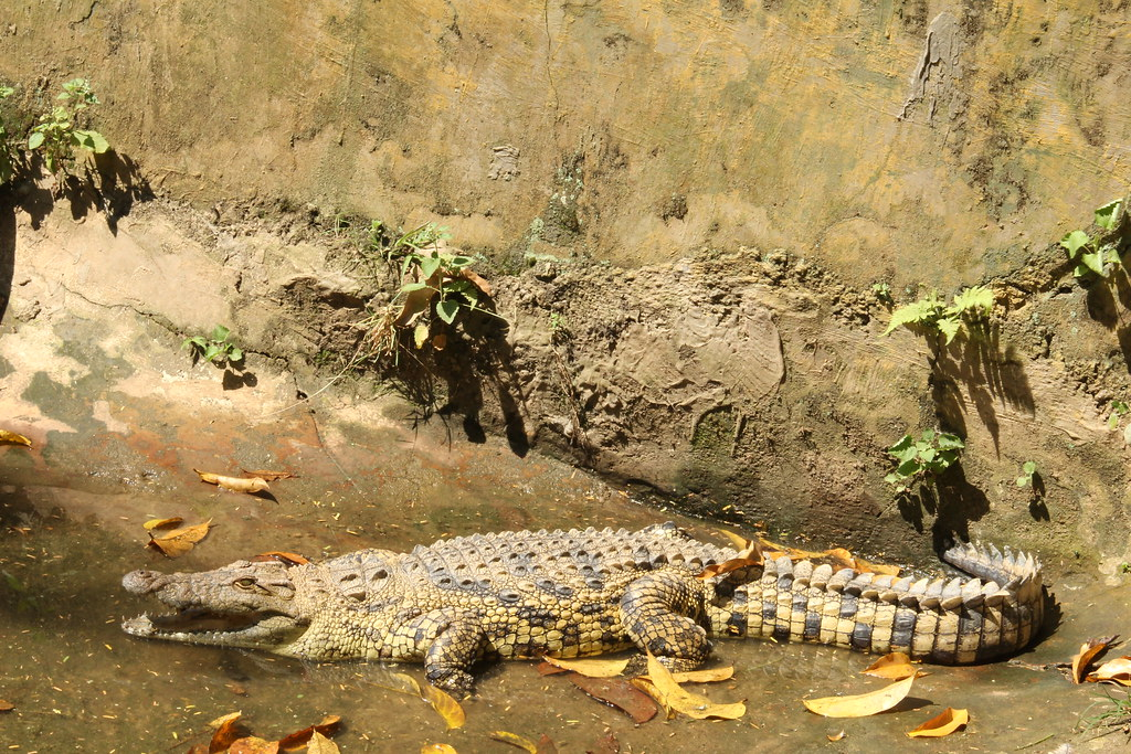 Crocodile, Entebbe Reptile Village