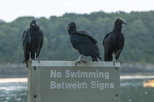 noswimmingbetweensigns blackvultures boatramp sign speedboatentry speedboatexit warningsign vultures signage