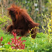 518. Orang Utan by 1000 Wildlife Photo Challenge