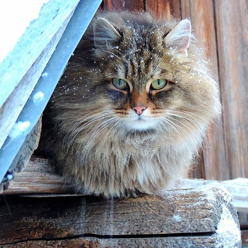 сибирские кошки в барнауле фото