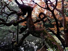 arboreal uzumaki
