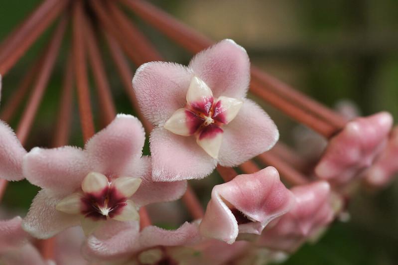 Hoya carnosa  サクララン