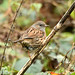 Dunnock at Chesworth Farm, Horsham
