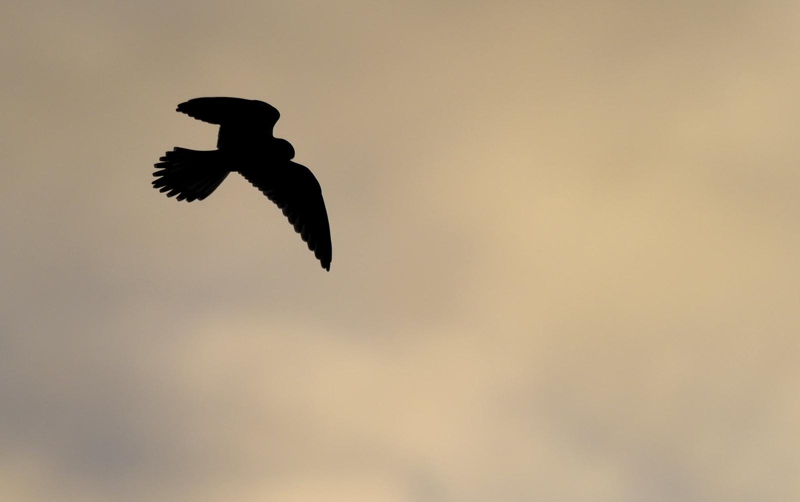 Kestrel Hunting at dusk
