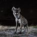 Hyena at Night by Will Burrard-Lucas | Wildlife