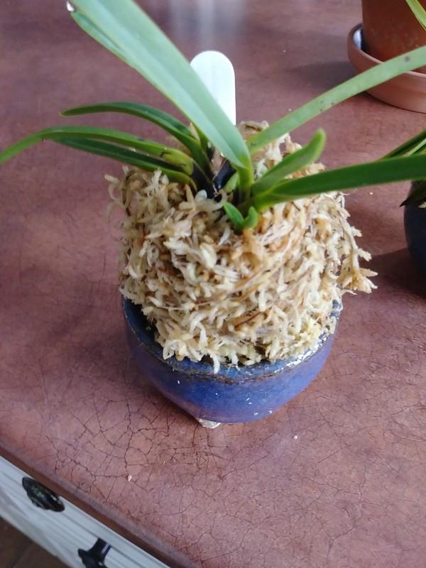 Orchidées chez lavandula - Page 14 44316854120_4c0031a4bd_c
