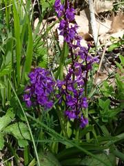2017-04-23 - Rando des cerisiers à Bessenay (23), Orchidées violettes - Photo of Saint-Clément-les-Places