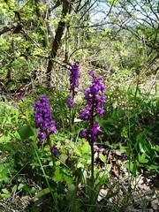 2017-04-23 - Rando des cerisiers à Bessenay (20), Orchidées violettes - Photo of Saint-Clément-les-Places