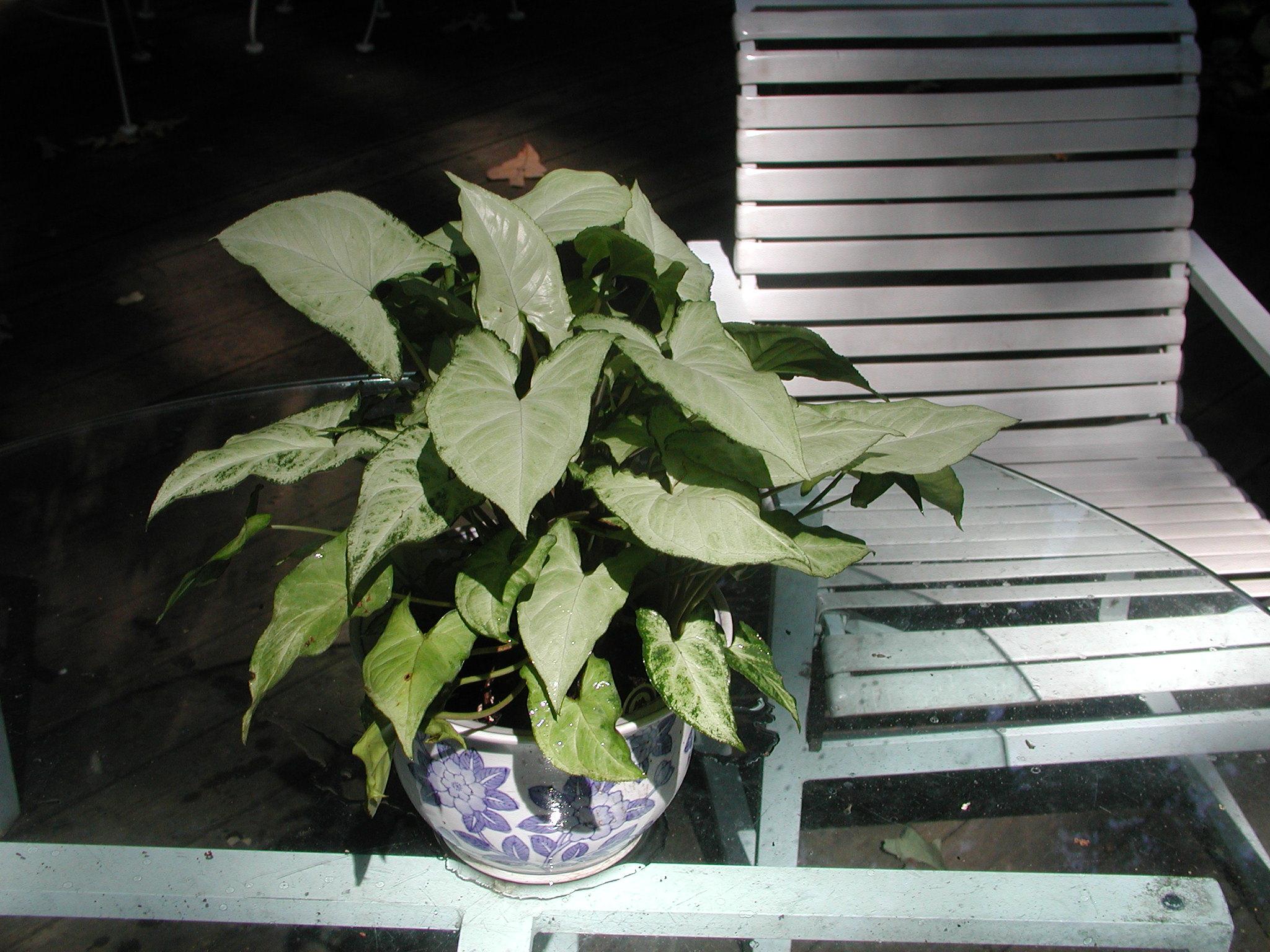 Syngonium podophyllum Exotic Cream 10 4 5