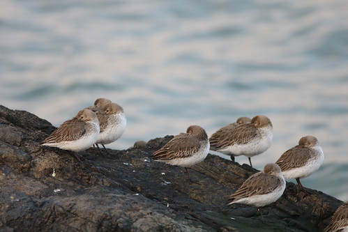Group of Purple Sandpiper Bearing the Wind