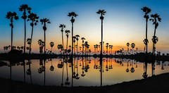 silhouette sugar palm tree at sunrise
